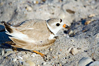200px-Piping_plover2.jpg